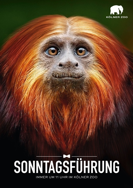 Kölner Zoo - Sonntagsführung - Motiv Affe