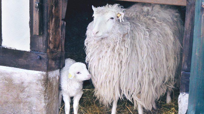 Zeichens hornlose Moorschnucke Mähmät - Patentier aus dem Kölner Zoo Beitragsbild