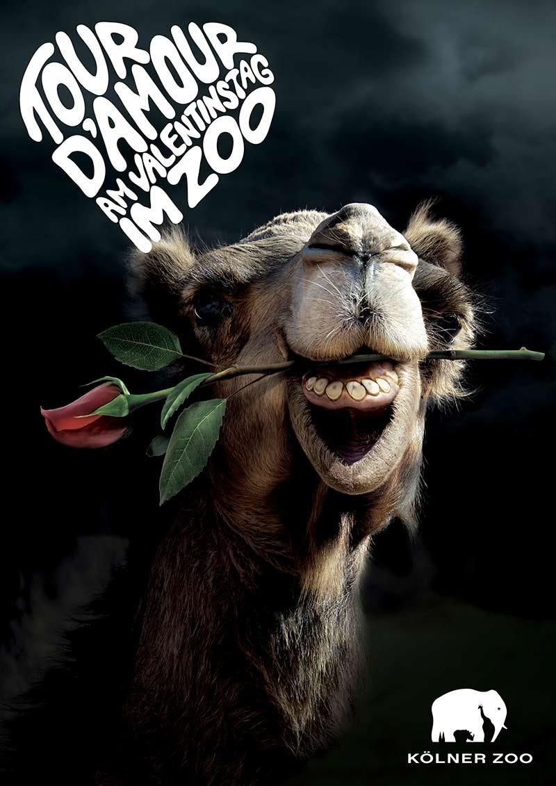 Tour d´Amour am Valentinstag im Zoo - Kamel mit einer Rose im Mund