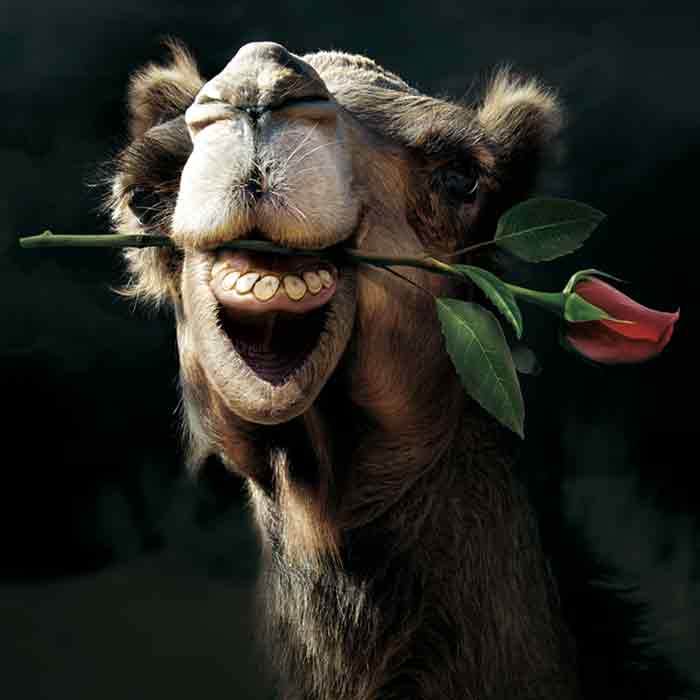 Kamel mit einer Rose im Mund