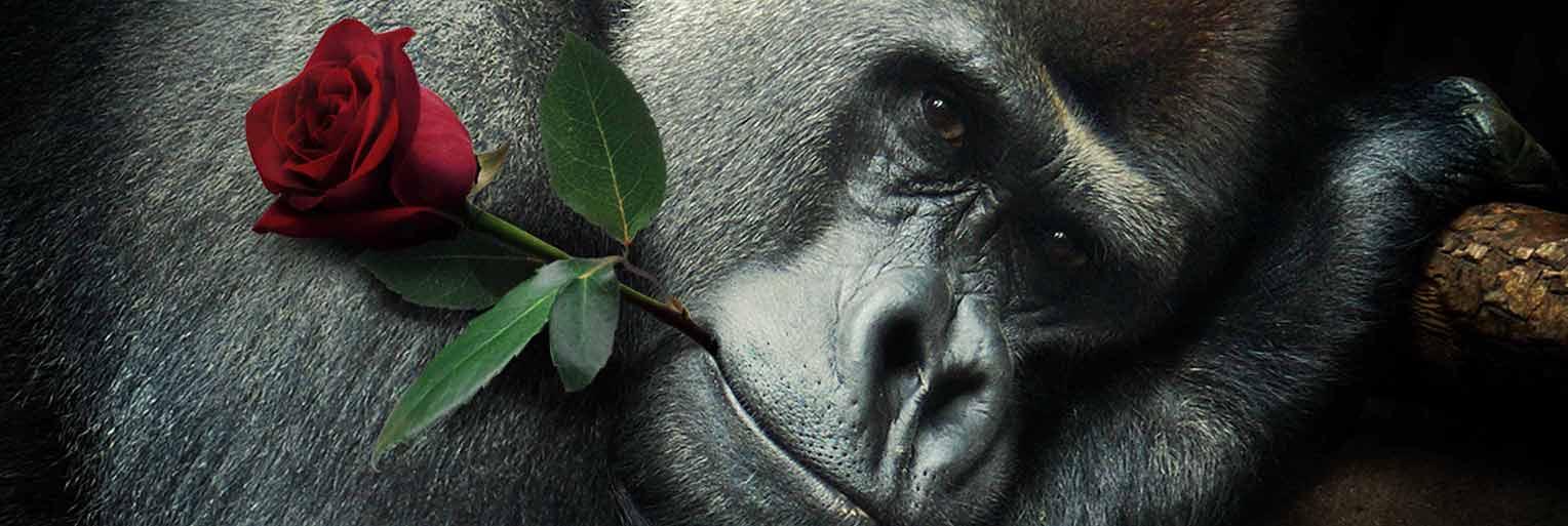 Gorilla mit einer Rose im Mund - Headerbild