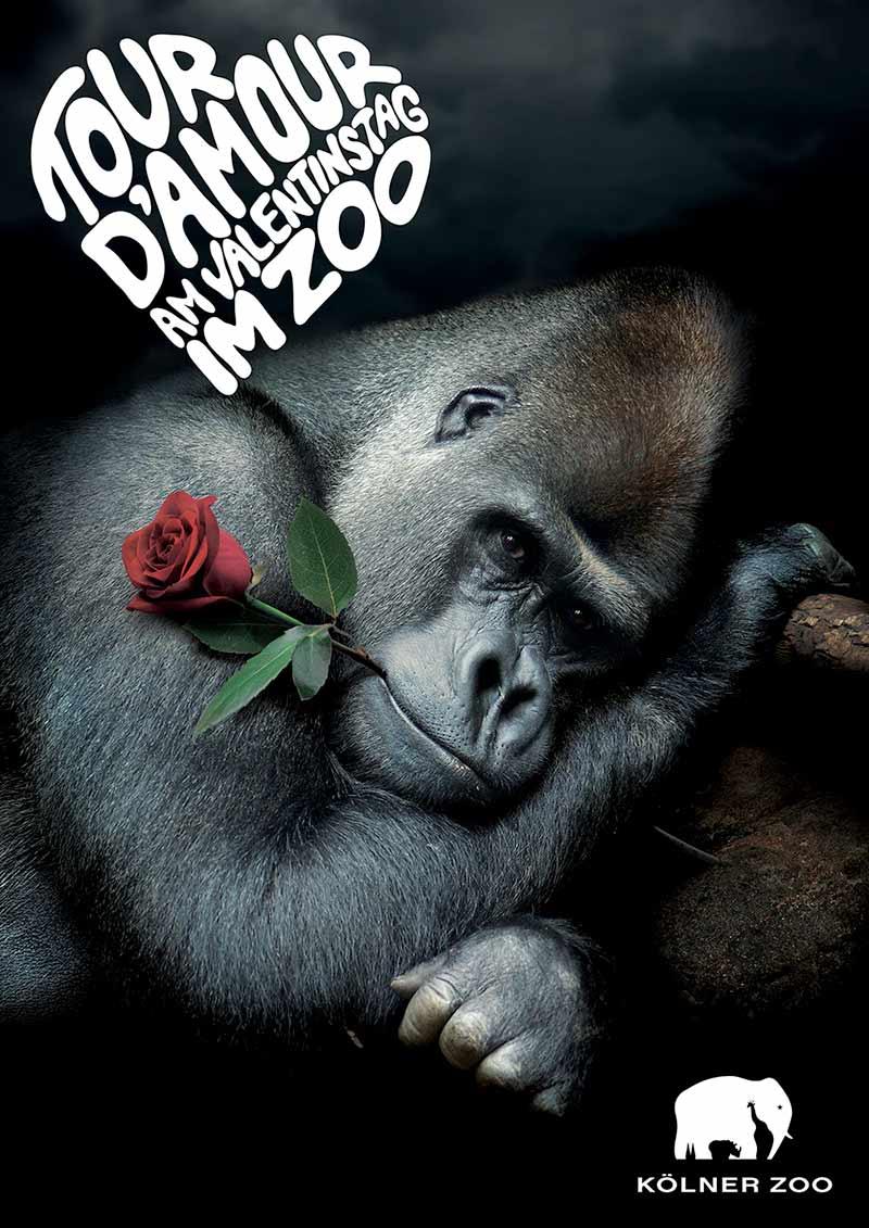 Tour d´Amour am Valentinstag im Zoo - Gorilla mit einer Rose im Mund